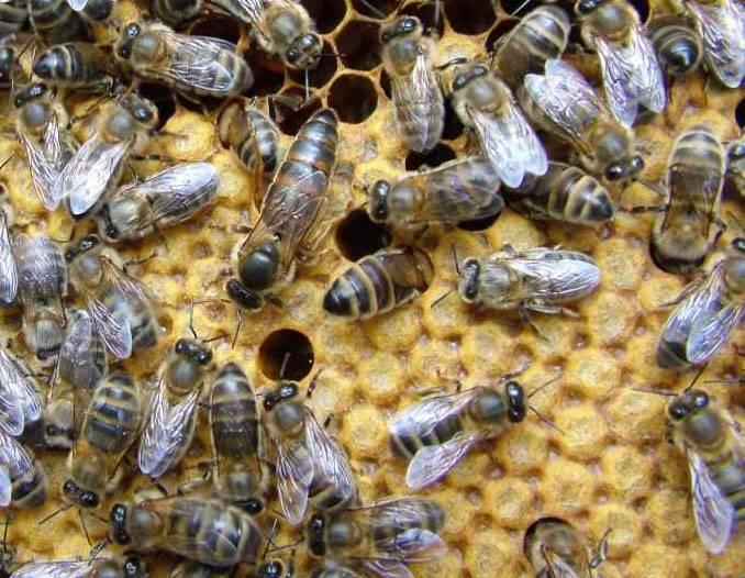 Карпатские пчелы: общая характеристика и особенности ухода