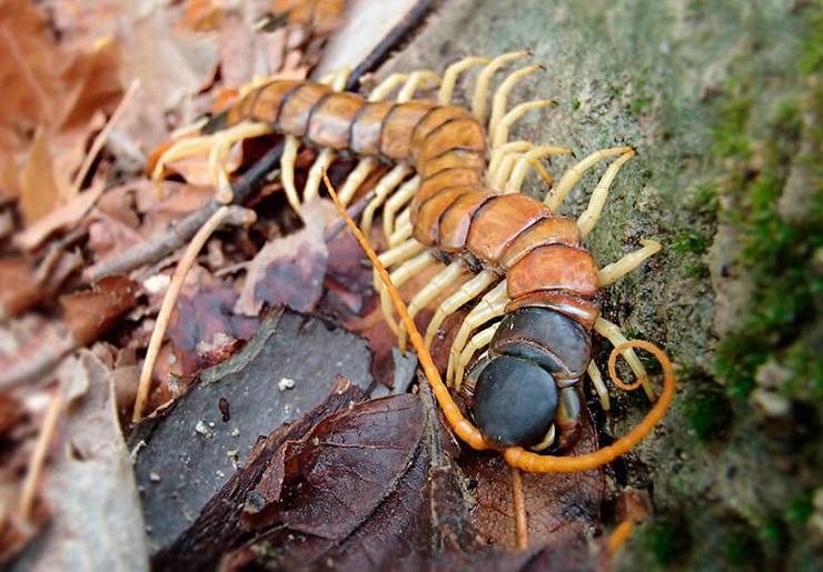 Что такое сколопендра: среда обитания, как выглядит, опасна ли?
