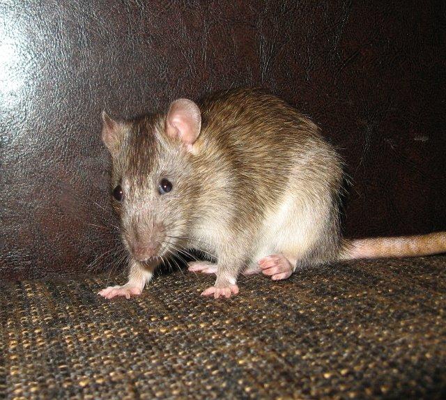 Что едят крысы: в домашних условиях и дикой природе