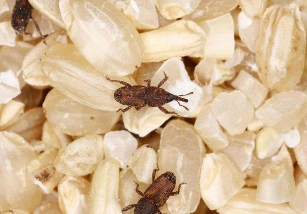 Рисовые долгоносики: описание, вред, как избавиться от жучков