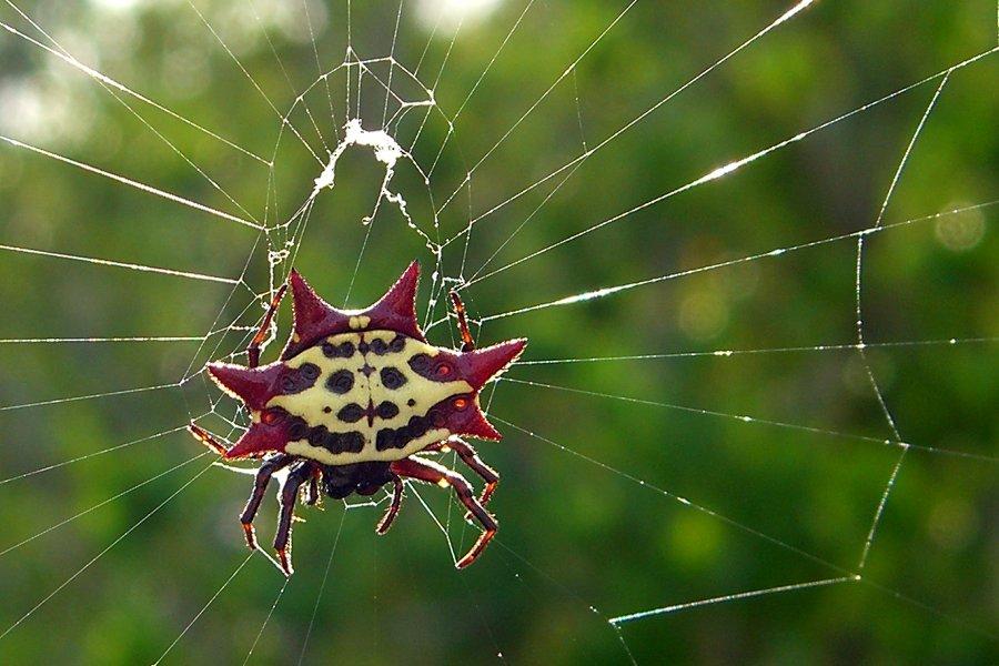 Кругопряды-нефилы: ареал обитания и опасность пауков для человека