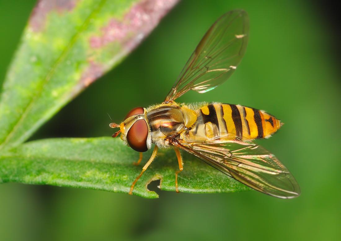 Все виды мух. описание и фото полосатой мухи похожей на осу