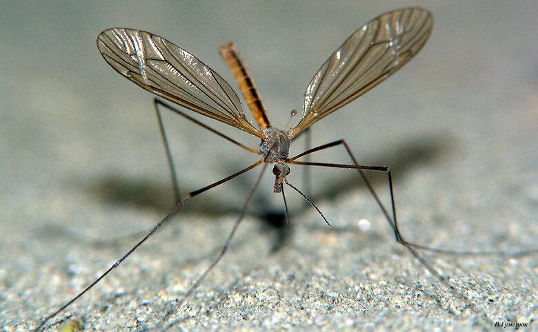 Чем большой комар отличается от маленького: отличия и особенности | в чем разница