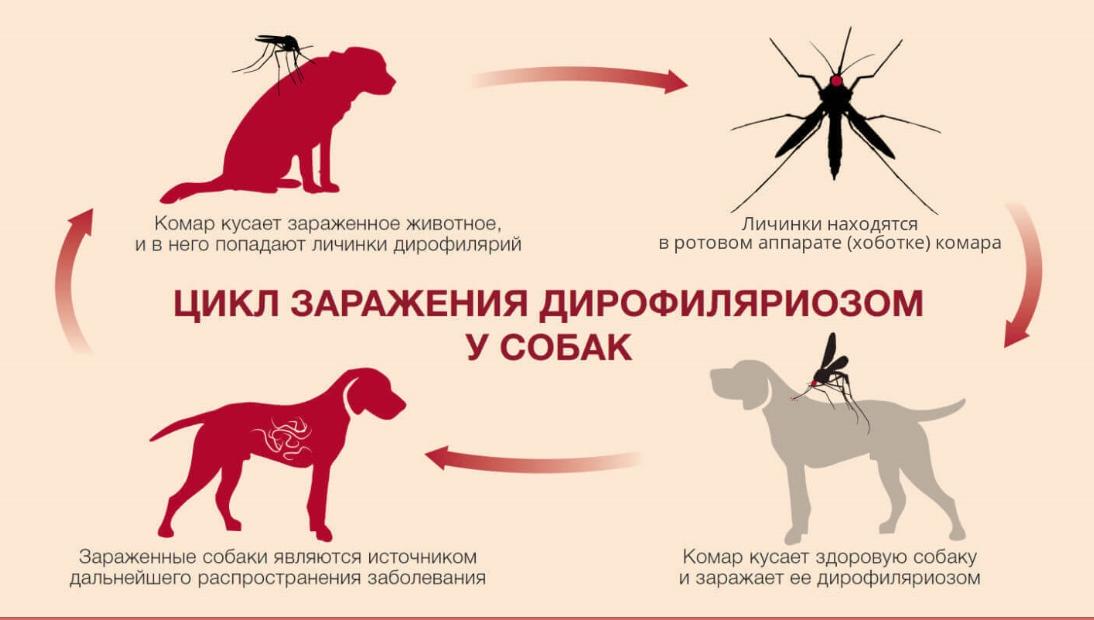 Чем можно намазать собаку от укусов комаров. укусы комара у собаки. периоды наибольшей активности насекомых