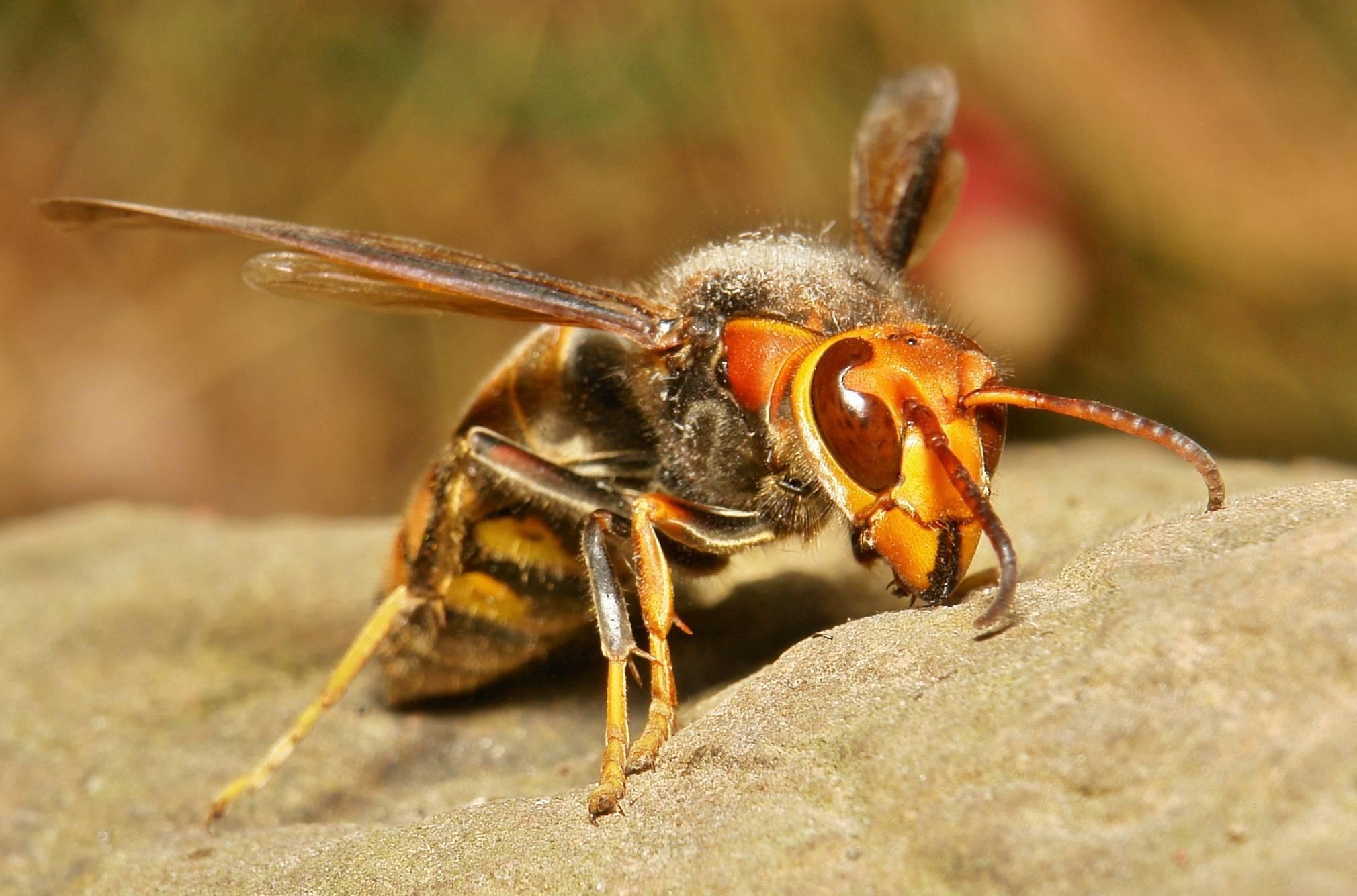 Образ жизни азиатского гигантского шершня vespa mandarinia, последствия его укусов