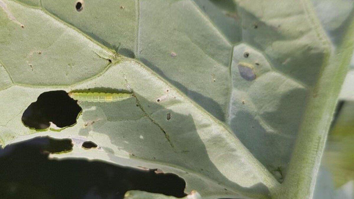 Вредители капусты и как с ними бороться   продвижение сайтов в яндекс