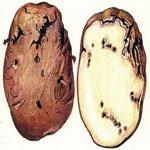 Картофельная моль – узкоспециализированный огородный вредитель