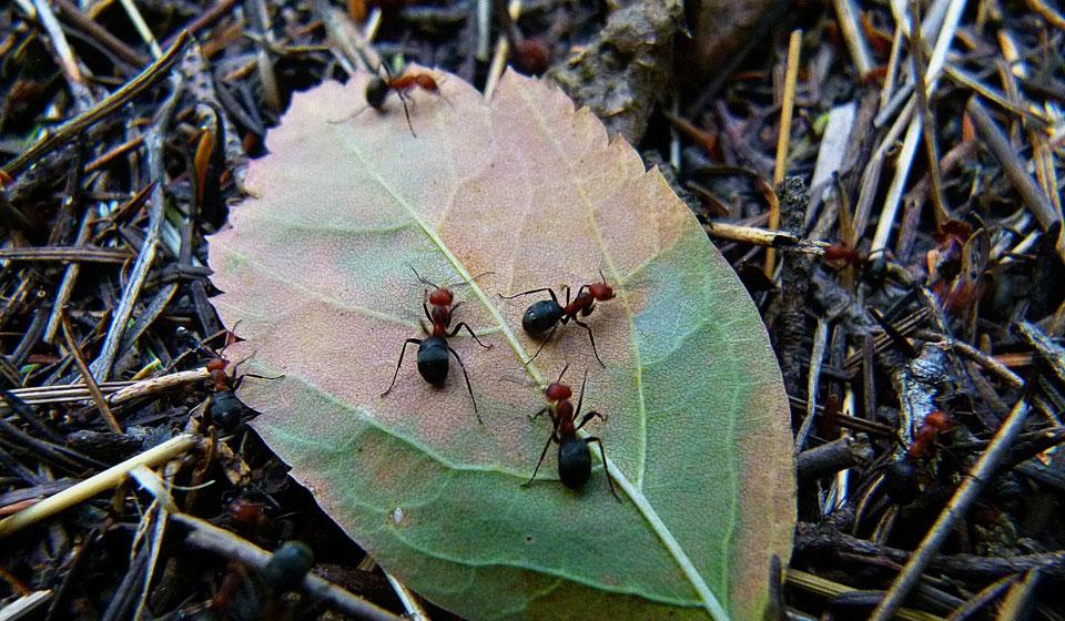 Что делать, если муравьи едят капусту на корню, как от них избавиться и спасти урожай, чем полить и обработать, и способы борьбы народными и иными средствами