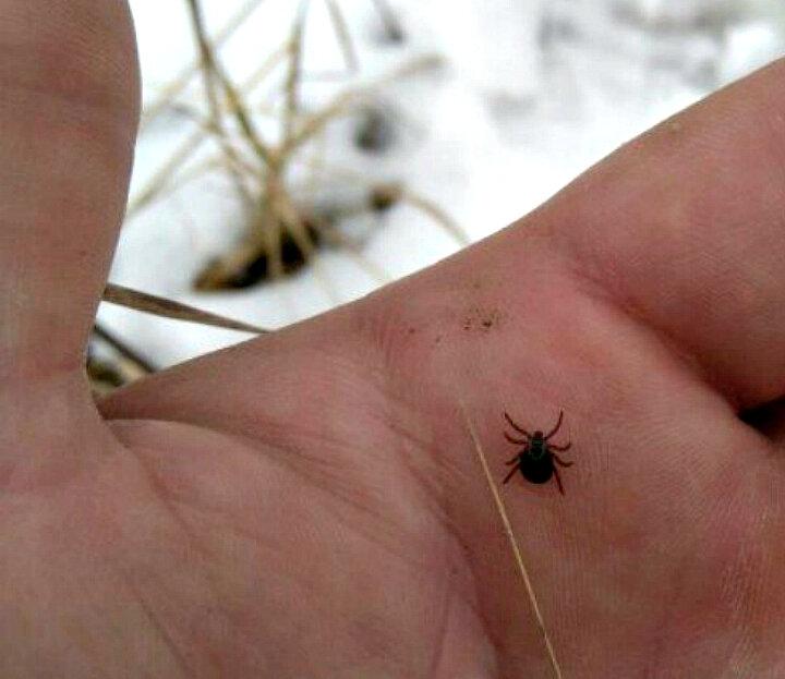При какой минусовой температуре погибает паутинный клещ. паутинный клещ