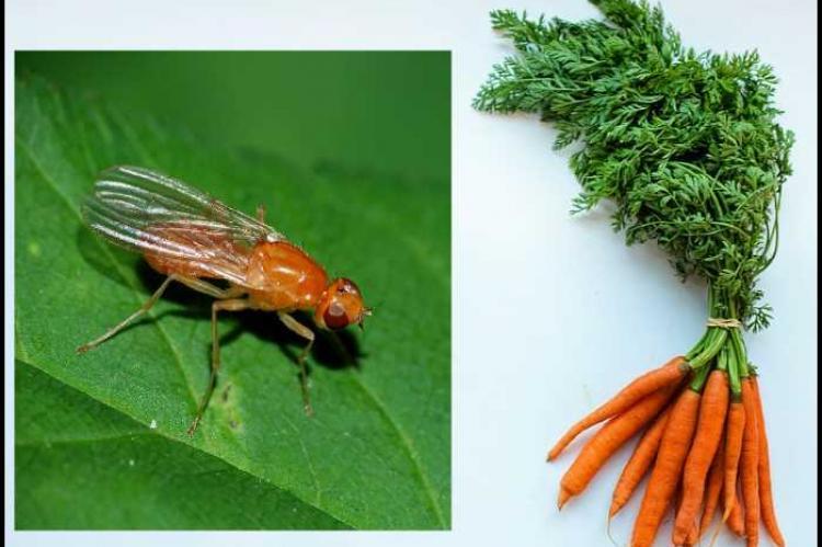 Чем полить морковь от морковной мухи