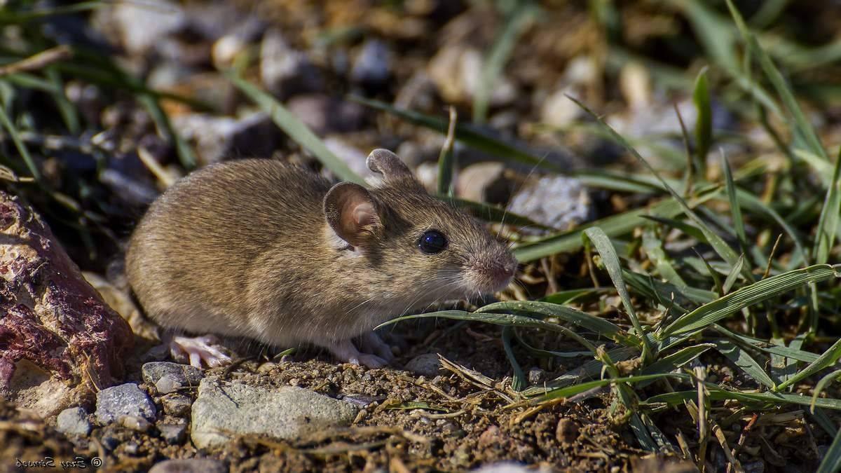 Лесная мышь, ее привычки и повадки 2021