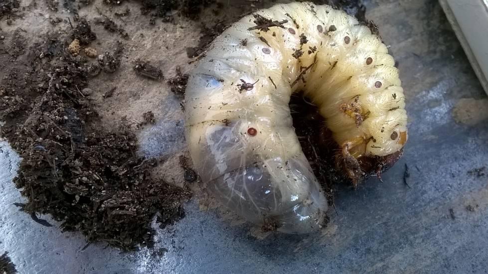 Личинка медведки, фото, отличие от майского жука