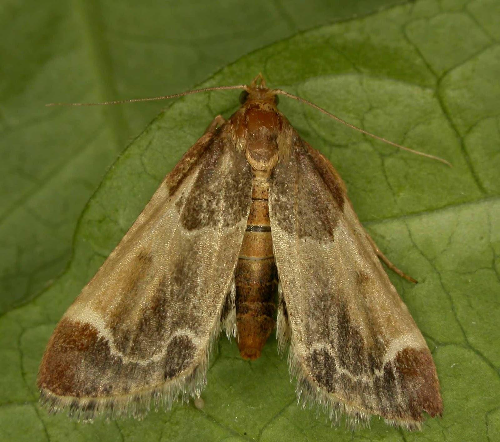 Бабочка огневкабабочка огневка - фото и описание
