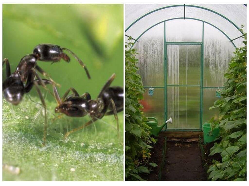 Как избавиться от муравьев в теплице ⭐ навсегда