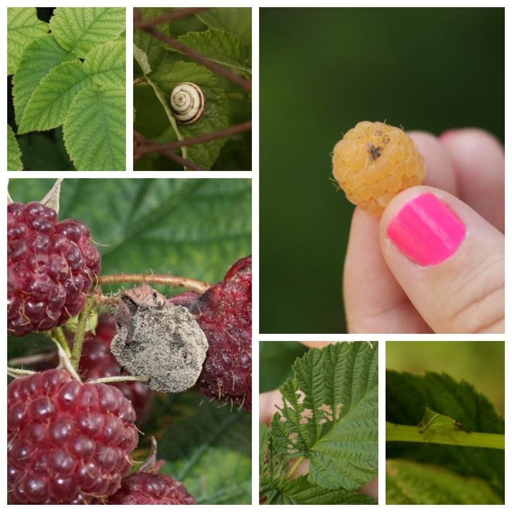 Галлица – методы борьбы с вредителем малины