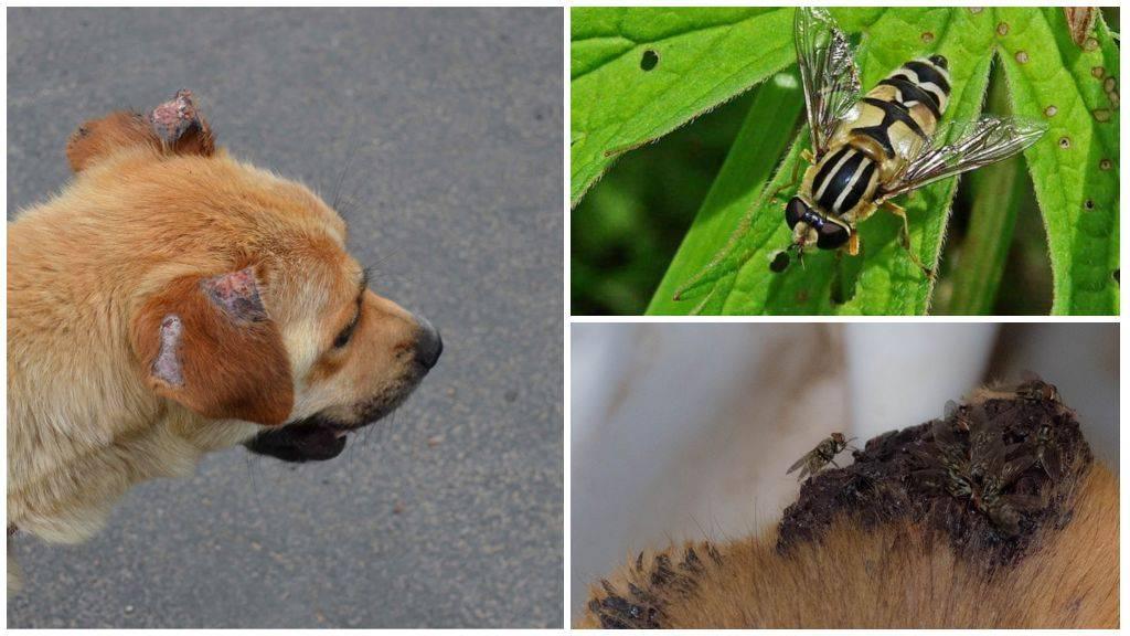 Мухи грызут уши у собаки: что делать и чем обработать