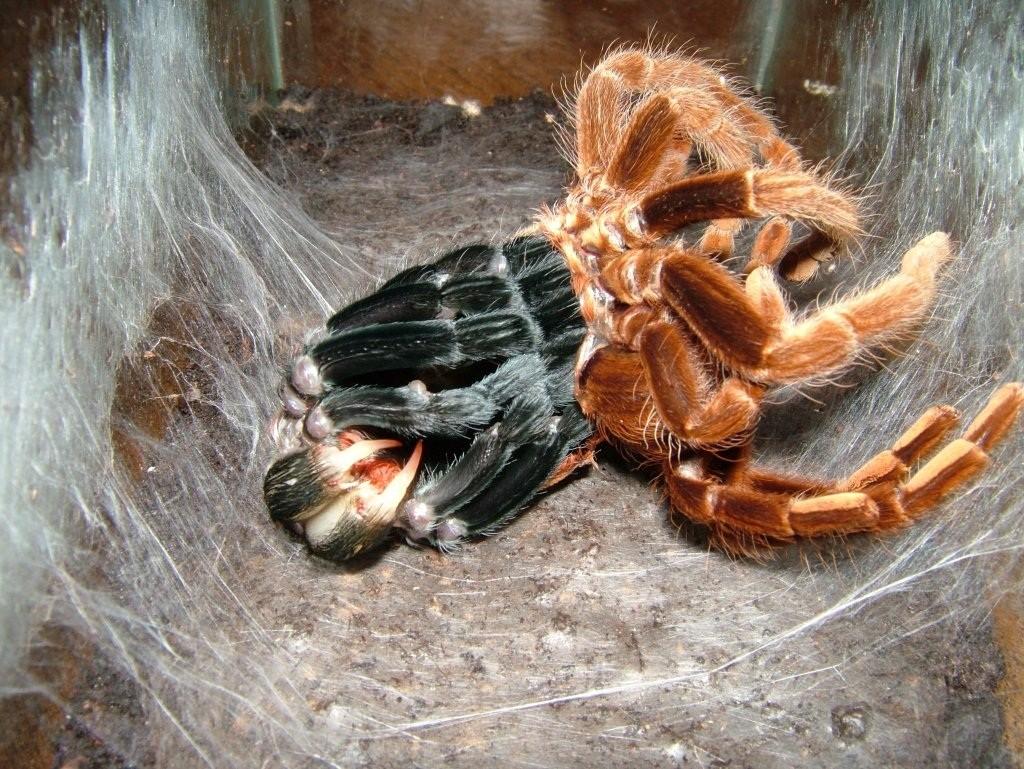 Самые большие пауки в мире. топ-10