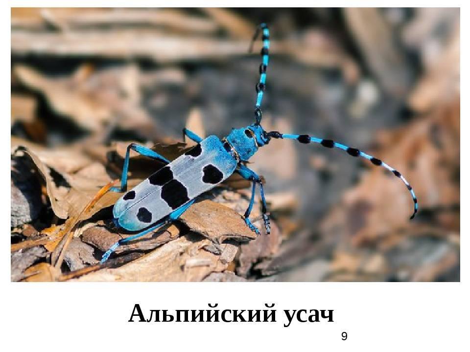 Rosalia alpina: размеры, жизненный цикл и ареал обитания насекомого