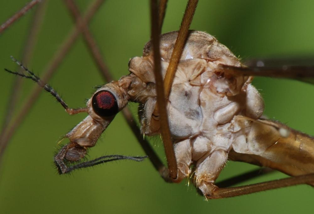 Чем полезны комары, как они влияют на экосистему