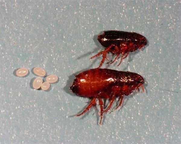 Где блохи откладывают яйца и личинки и как они выглядят?