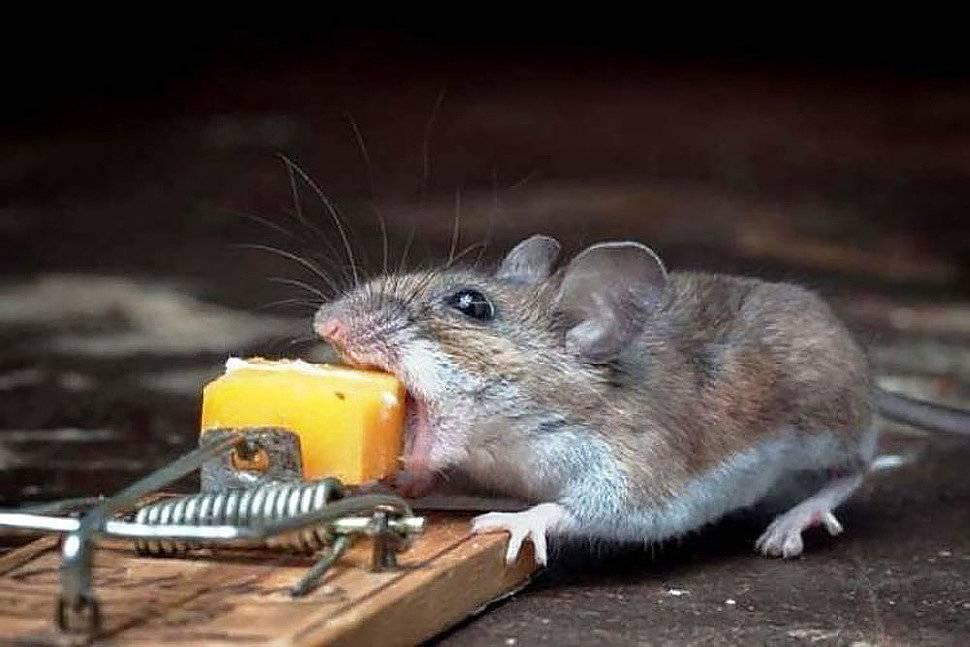 Едят ли мыши сыр