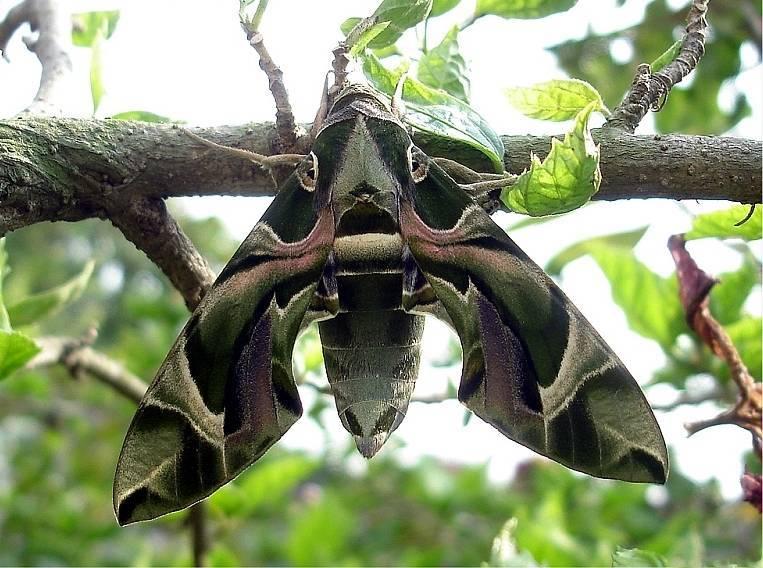 Кукурузный мотылек – гусеницы атакуют сельскохозяйственные поля