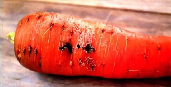 Морковная муха как с ней бороться народными средствами, видео и фото