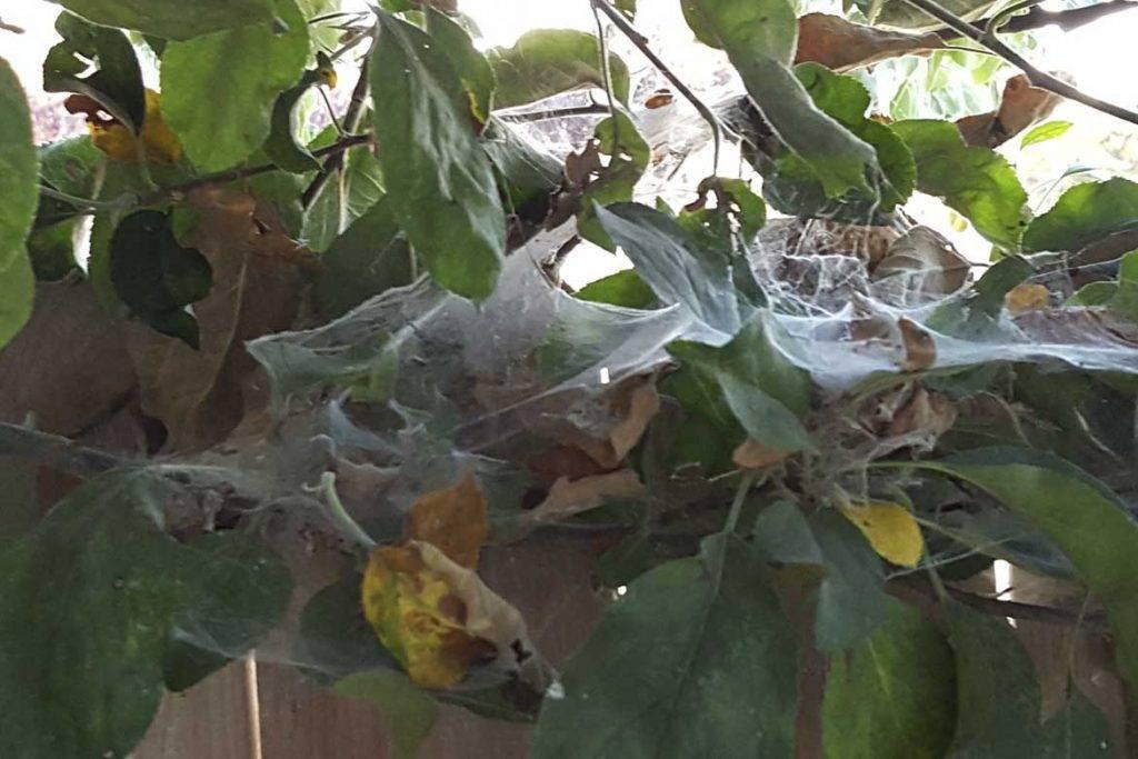 Паутинный клещ на яблоне: как избавиться от вредителя и чем обработать деревья для профилактики