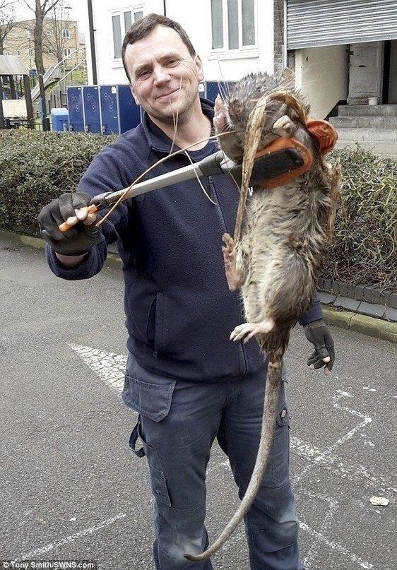 Самые большие крысы на земле