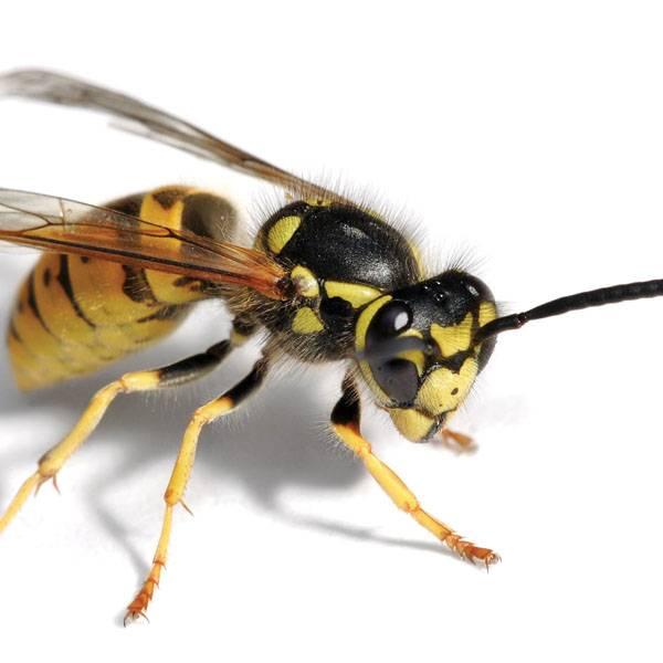 Чем примечательно жало осы? / как избавится от насекомых в квартире