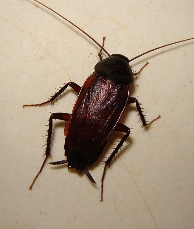 Что делать при появлении в доме черных тараканов?