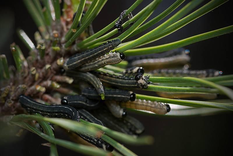 Основные болезни декоративных хвойных растений. болезни хвойных деревьев и их лечение. фото — ботаничка.ru