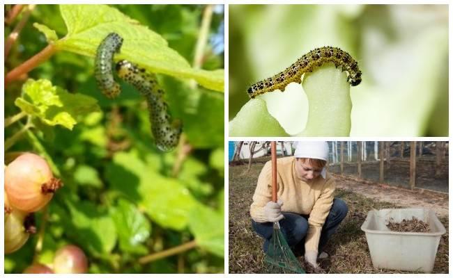 Как бороться с вредителями калины. чем обработать калину от вредителей и тли?