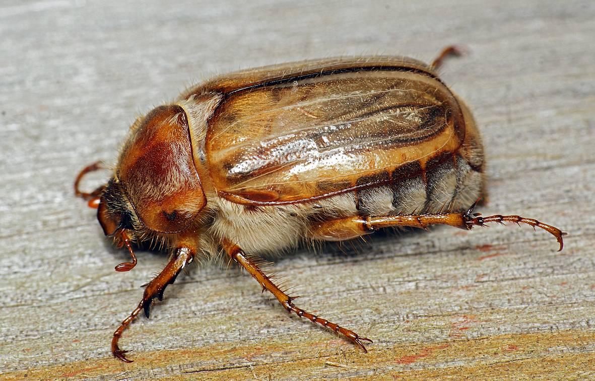 Всё о майском жуке или хруще: основная информация и фото вредителя русский фермер