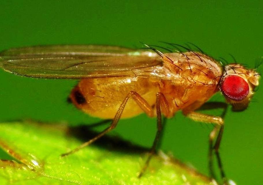 Плодовые мухи дрозофилы: как появляются и как от них избавиться?
