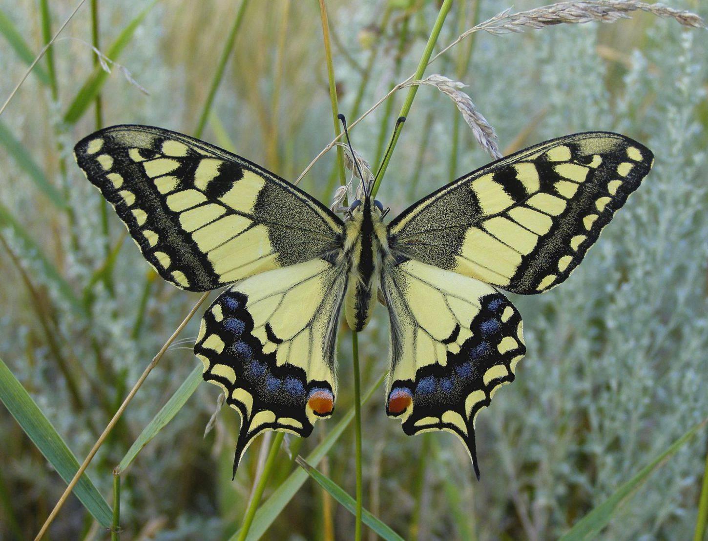 Махаон приспособления к среде обитания. образ жизни и описание бабочки махаон