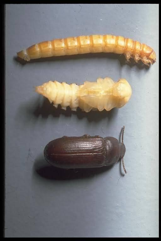Большой и малый мучной хрущак: фото, как от него избавиться в квартире, откуда берется