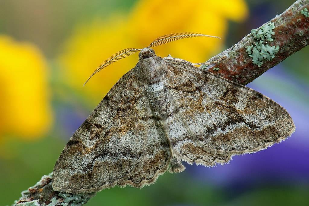 Бабочка березовая пяденица, красивый и опасный вредитель