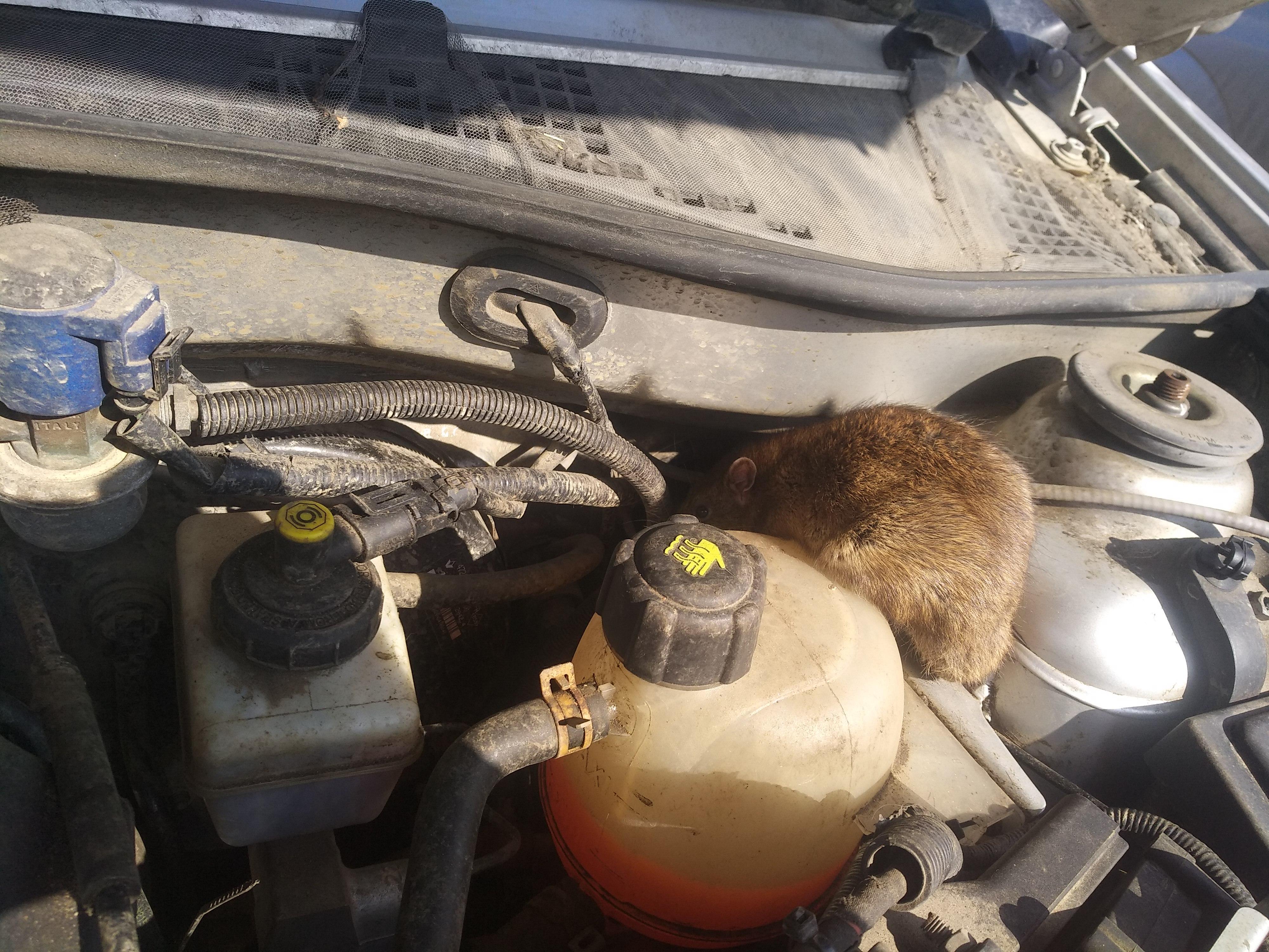 Как поймать мышь в машине: из под капота и из салона.