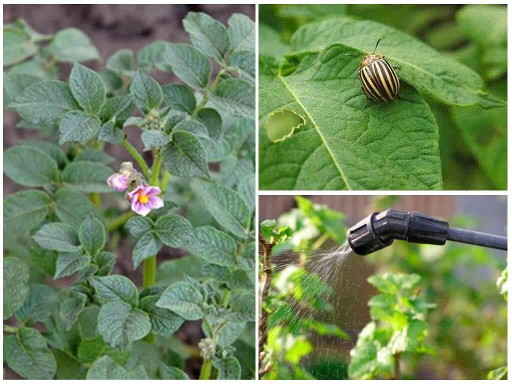Колорадский жук — особенности строения, места обитания, размножение, методы борьбы (97 фото + видео)