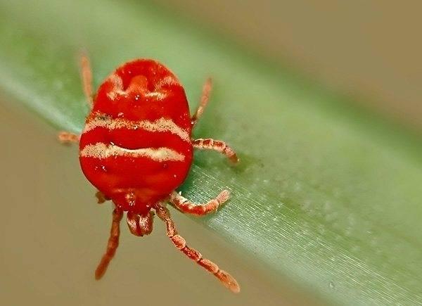 Красный клещ — описание, вред, опасность, методы борьбы