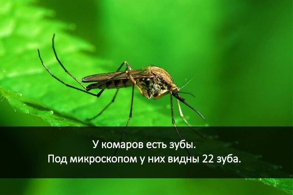 Есть ли зубы у комаров