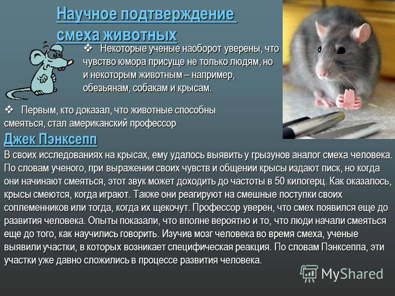 Звуки крыс | мои домашние питомцы