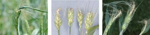 Пшеничный трипс – как спасти яровую пшеницу