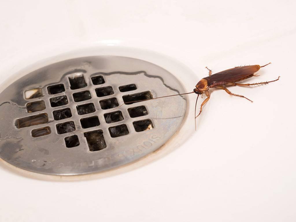 Маленькие тараканы: как выглядят, что делать если появились дома