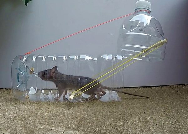 Мышеловки из пластиковых бутылок своими руками в домашних условиях: особенности изготовления ловушек