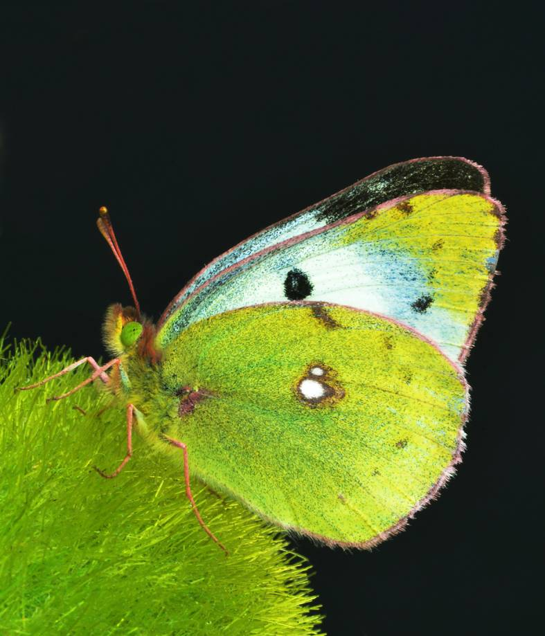 Бабочка луговая желтушка описание для детей. желтушка тизо. образ жизни. питание
