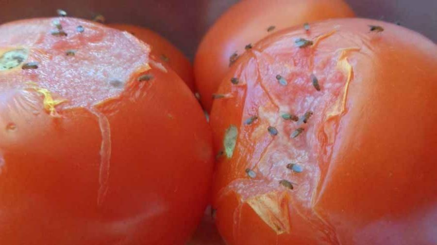 Откуда берутся мошки на фруктах при хранении дома | рутвет - найдёт ответ!