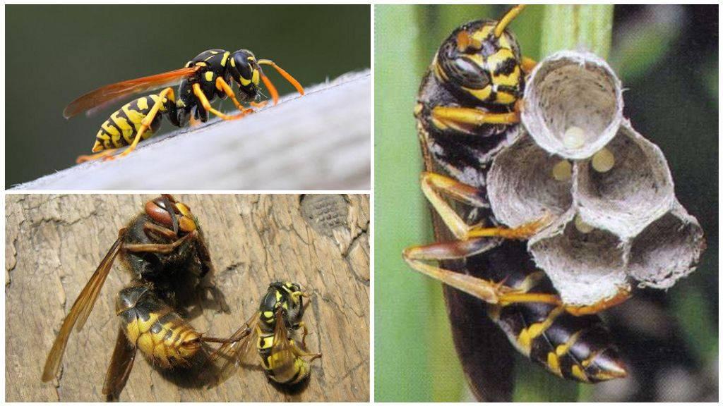 Главные признаки, как отличить осу от пчелы. как отличить пчелу от осы: основные различия