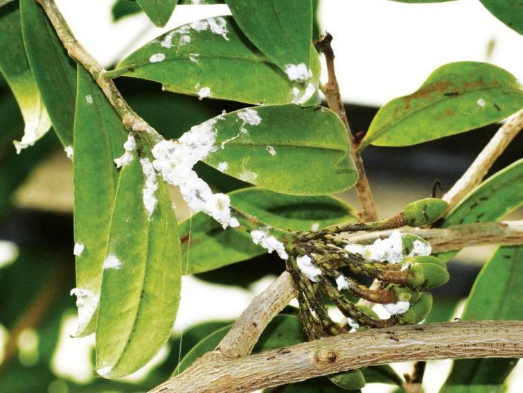 Как бороться с мучнистым червецом на комнатных растениях и в саду